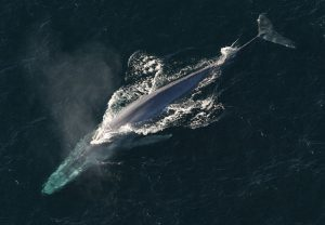 Blue whale pictured from the top