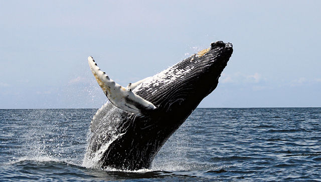 Humpback whale breaching water