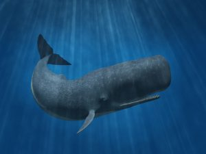 Sperm whale. One of the biggest whales on earth
