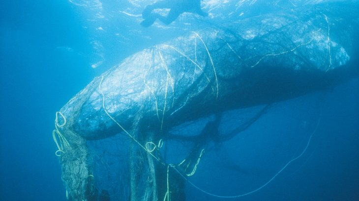 Rescuers Trying To Free An Entangled Gray Whale From Ghost Nets