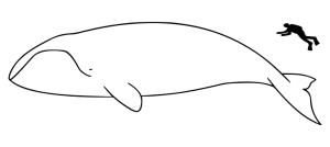 Bowhead Whale Size Compared To A Human Being