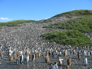 60,000 Pairs Of King Penguins: Whales Return to South Georgia and Sandwich Islands