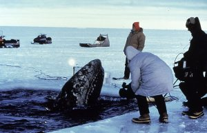 Freeing a Trapped Gray Whale From An Ice Floe