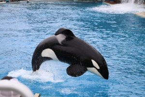 Killer whale or orca: whales, porpoises, and dolphins