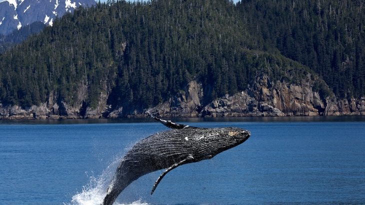 Humpback Whale Breaching; why do whales breach?