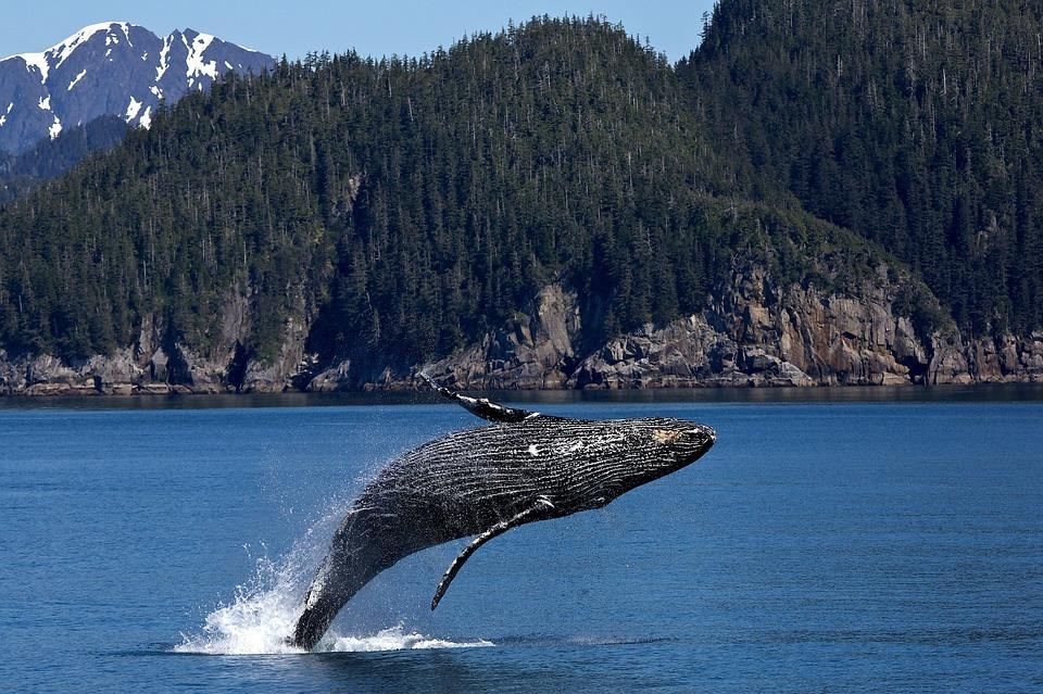 Humpback Whale Breaching; why do whales breach?