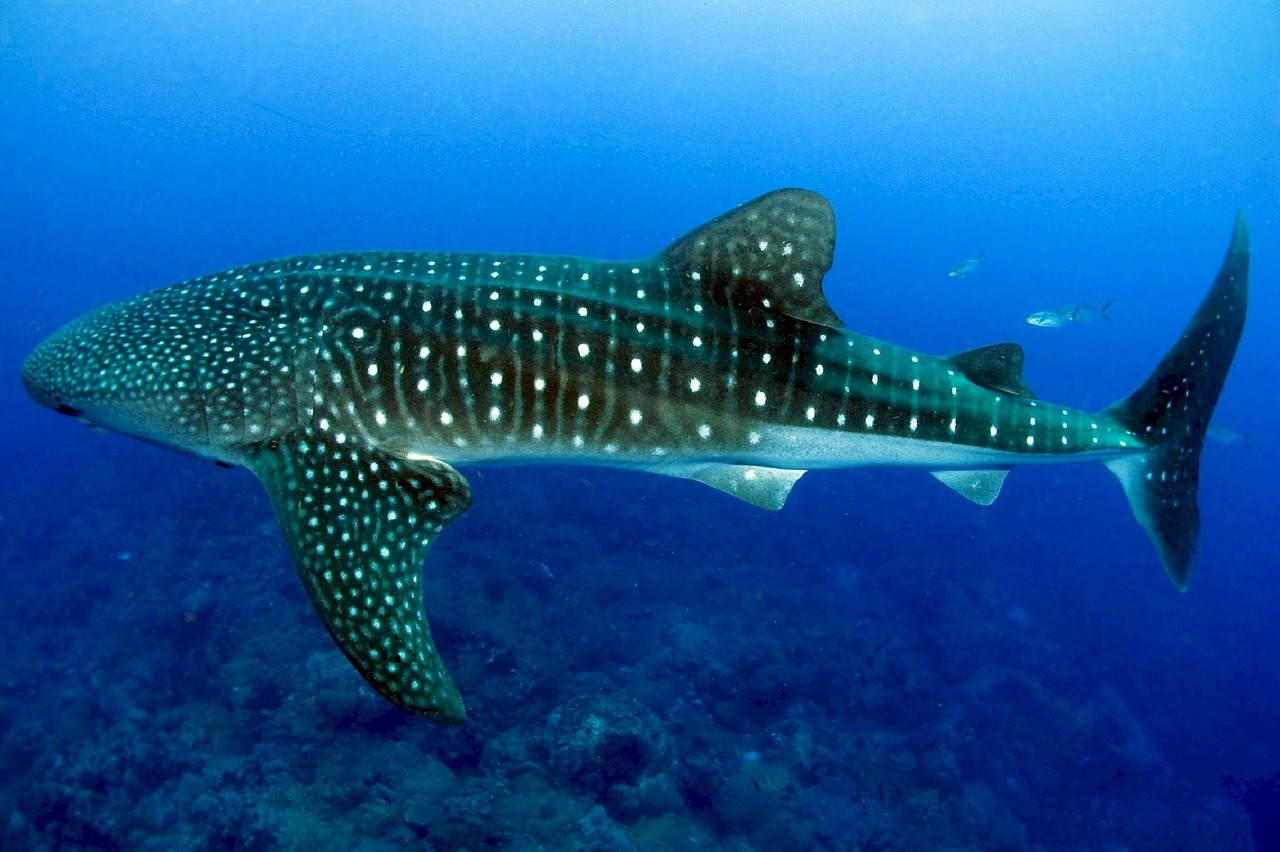 Whale Shark: Sharks and whales